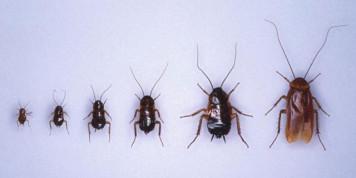 Этапы жизни таракана