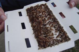 Клеевая ловушка, заполненная тараканами