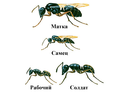 Продолжительность жизни муравья зависит от касты