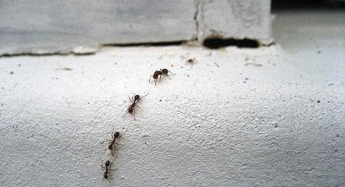 Использование борной кислоты позволяет добраться до гнезда и матки муравьев