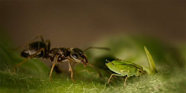 Если вовремя не избавиться от муравьев в саду, они могут стать причиной появления тли