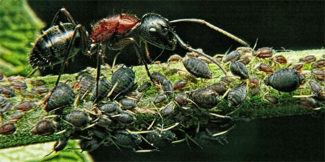Разведение тли - вред, который приносят муравьи саду