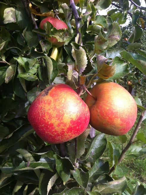 Плоды после налета