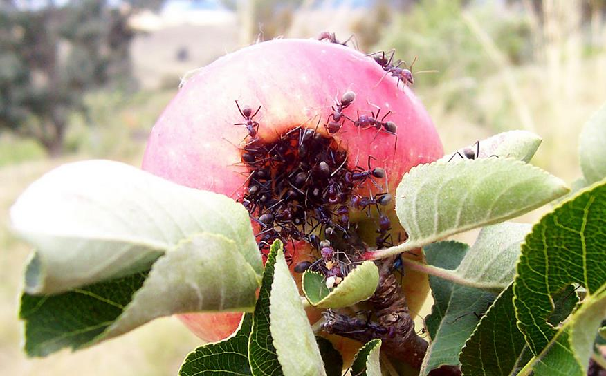 Атака муравьев на плод яблони