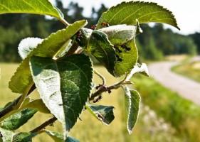 Муравьи поедают листья яблони