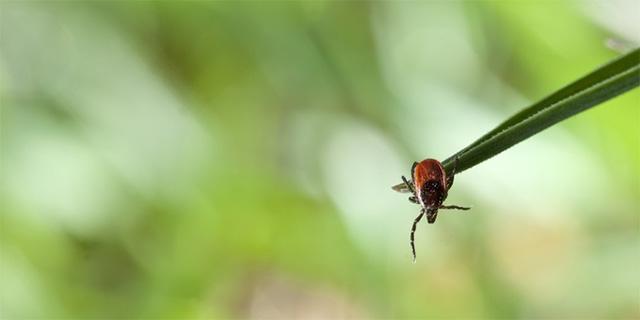 Иксодовый клещ переносчик боррелиоза