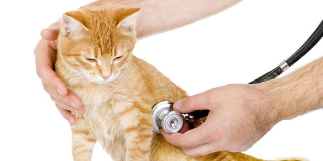 Чесоточный клещ у кошек: фото, симптомы и лечение