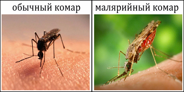 gde-vstrechaetsya-malyariynyiy-komar11