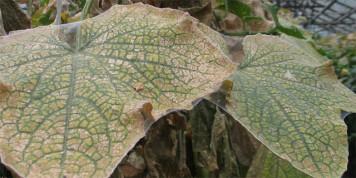 Поврежденный паутинным клещом лист огурца