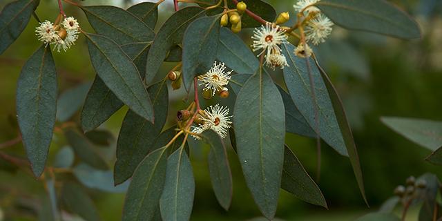 maslo-evkalipta-ot-komarov-Eucalyptus