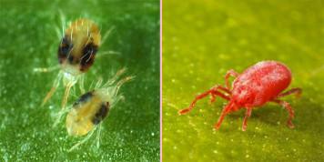 Обыкновенный и красный паутинные клещи