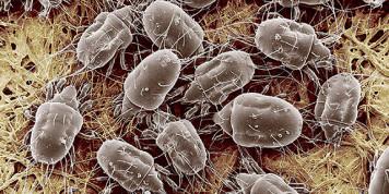Фото пылевого клеща под микроскопом