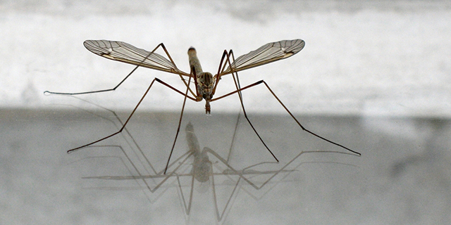 samyiy-bolshoy-komar-v-mire2