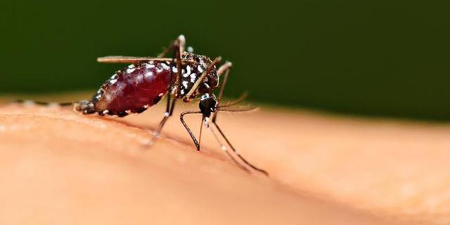 Самка комара