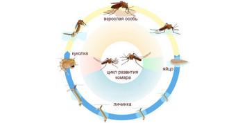 Цикл жизни комара
