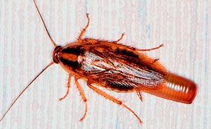 Фото таракана
