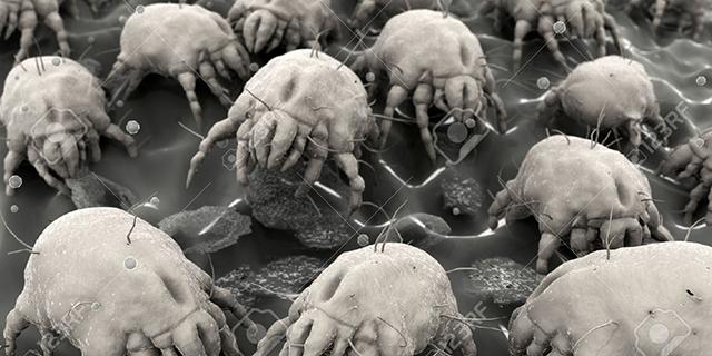 Фото пылевого клеща