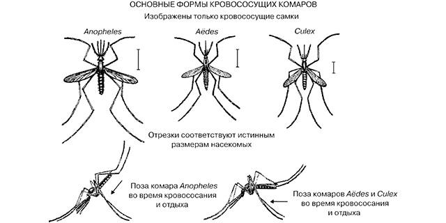 vsyo-o-malyariynom-komare-chem-opasen-i-kak-ego-otlichit1