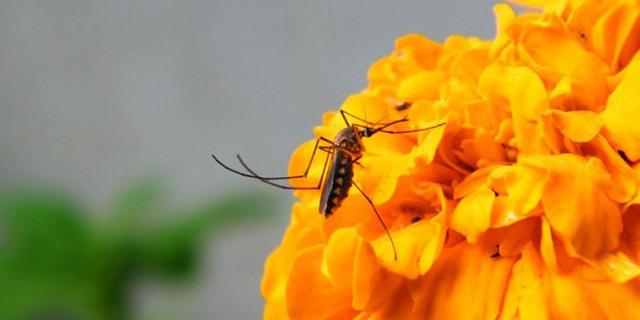 vsyo-o-malyariynom-komare-chem-opasen-i-kak-ego-otlichit5