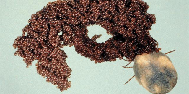 Самка иксодового клеща откладывает яйца
